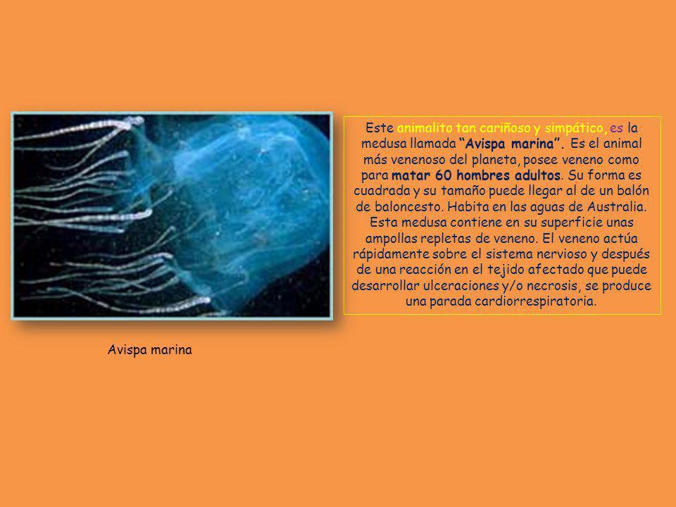 Este animalito tan cariñoso y simpático, es la medusa llamada Avispa marina.