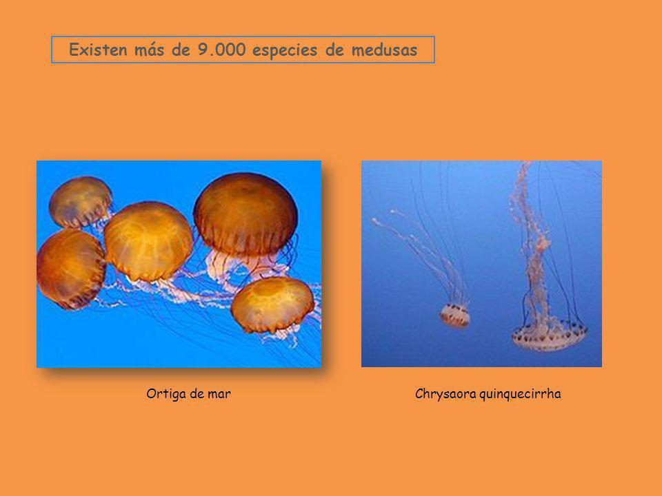 Existen más de 9.000 especies de medusas Ortiga de marChrysaora quinquecirrha