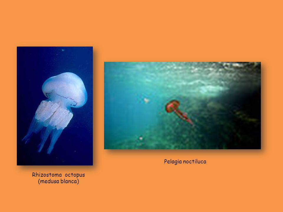 Rhizostoma octopus (medusa blanca) Pelagia noctiluca