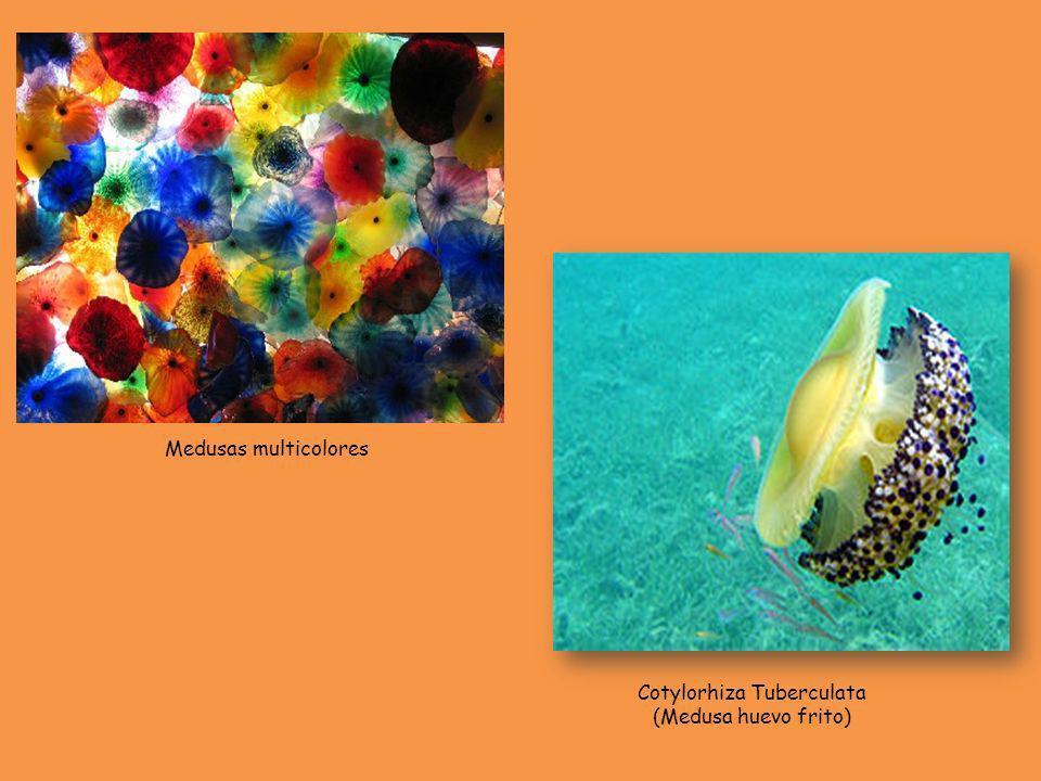 Cotylorhiza Tuberculata (Medusa huevo frito) Medusas multicolores