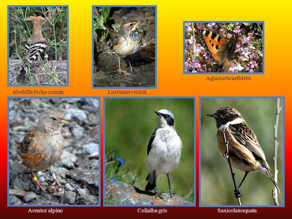 Se han clasificado 80 especies de animales endémicos. La reina indiscutible de la fauna de Sierra Nevada es la cabra montés que suele pastar en los pa