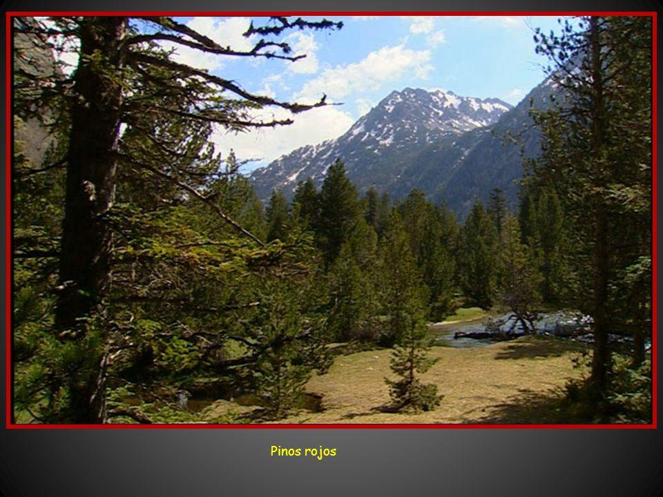 Pino de Amitges – árbol singular Más arriba de 1.500 metros hasta encima de los 2.00 metros, comienza el dominio de los pinares de pino negro. En el e