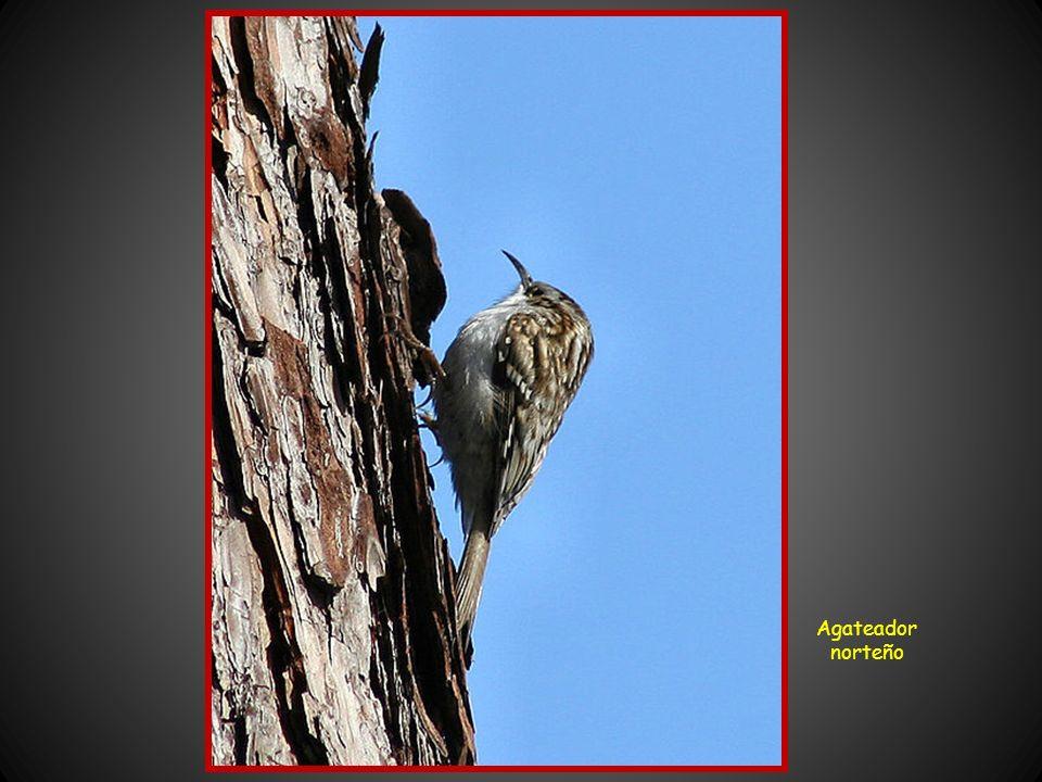 Urogallo La fauna del parque, aunque interesante es difícil de observar. Aproximadamente hay unas 200 especies de vertebrados, de las que casi dos ter