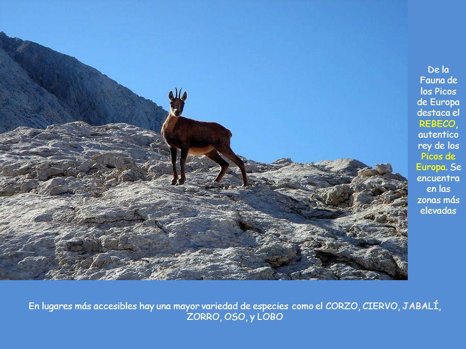 De la Fauna de los Picos de Europa destaca el REBECO, autentico rey de los Picos de Europa.