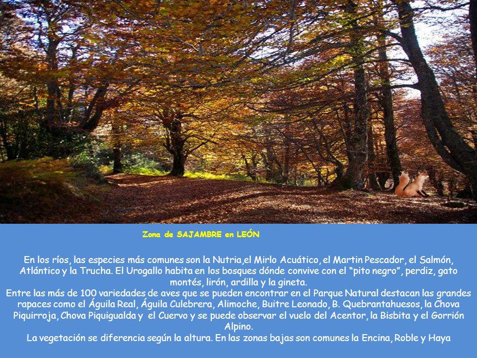 De la Fauna de los Picos de Europa destaca el REBECO, autentico rey de los Picos de Europa. Se encuentra en las zonas más elevadas En lugares más acce