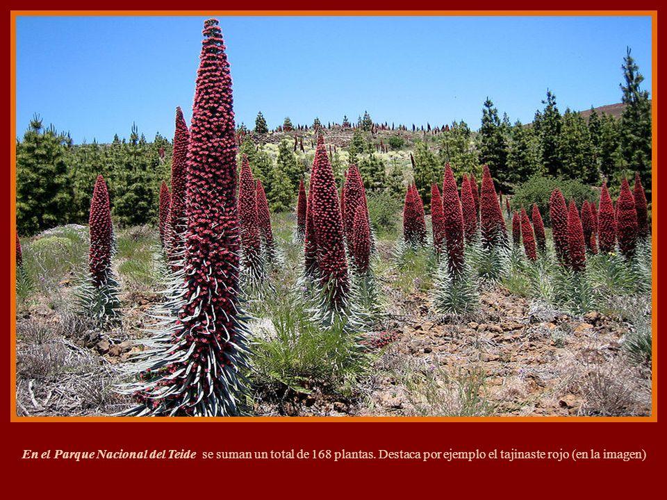 Flores del Teide