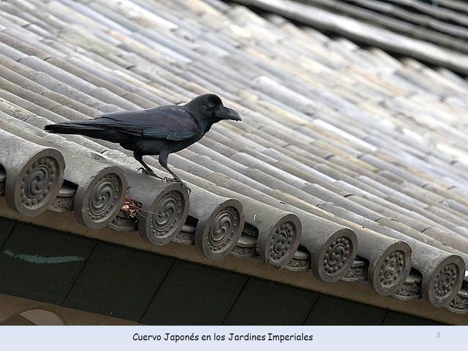 Cuervo Japonés en los Jardines Imperiales 3