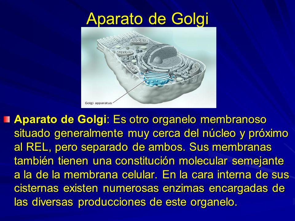 Aparato de Golgi Aparato de Golgi: Es otro organelo membranoso situado generalmente muy cerca del núcleo y próximo al REL, pero separado de ambos. Sus