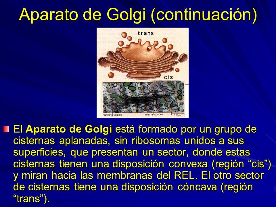 Aparato de Golgi (continuación) El Aparato de Golgi está formado por un grupo de cisternas aplanadas, sin ribosomas unidos a sus superficies, que pres