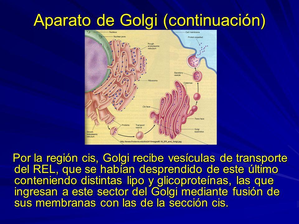 Aparato de Golgi (continuación) Por la región cis, Golgi recibe vesículas de transporte del REL, que se habían desprendido de este último conteniendo
