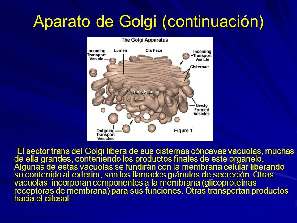 Aparato de Golgi (continuación) El sector trans del Golgi libera de sus cisternas cóncavas vacuolas, muchas de ella grandes, conteniendo los productos