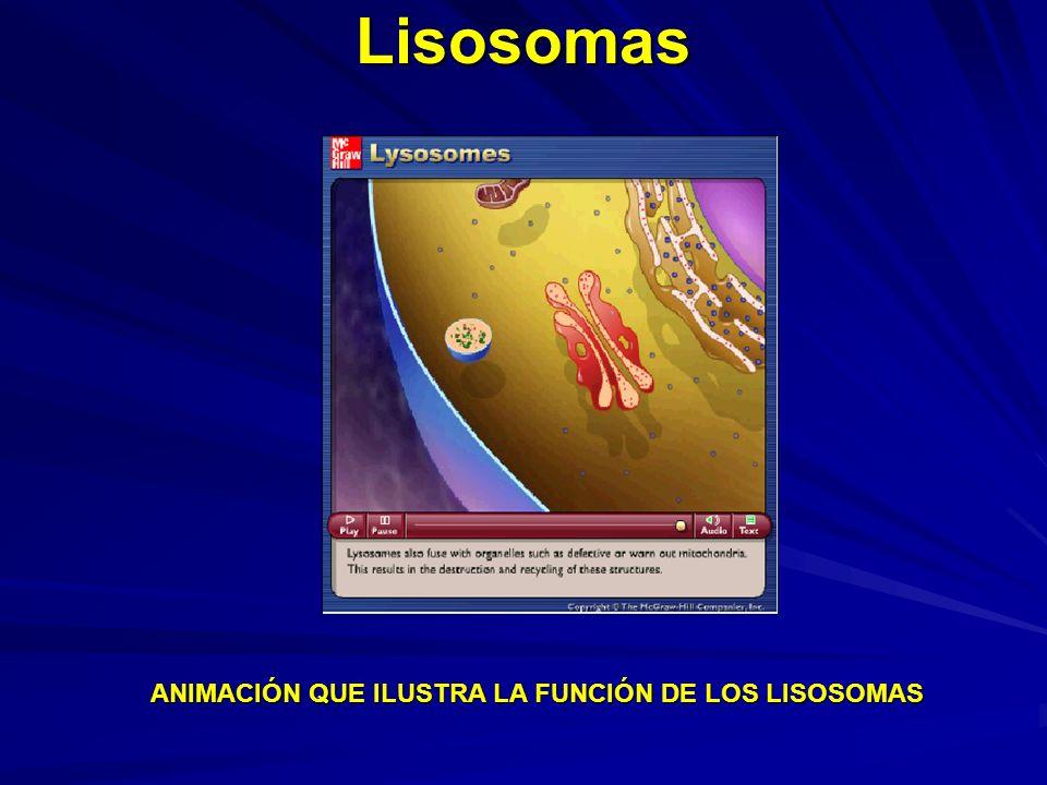 Lisosomas ANIMACIÓN QUE ILUSTRA LA FUNCIÓN DE LOS LISOSOMAS