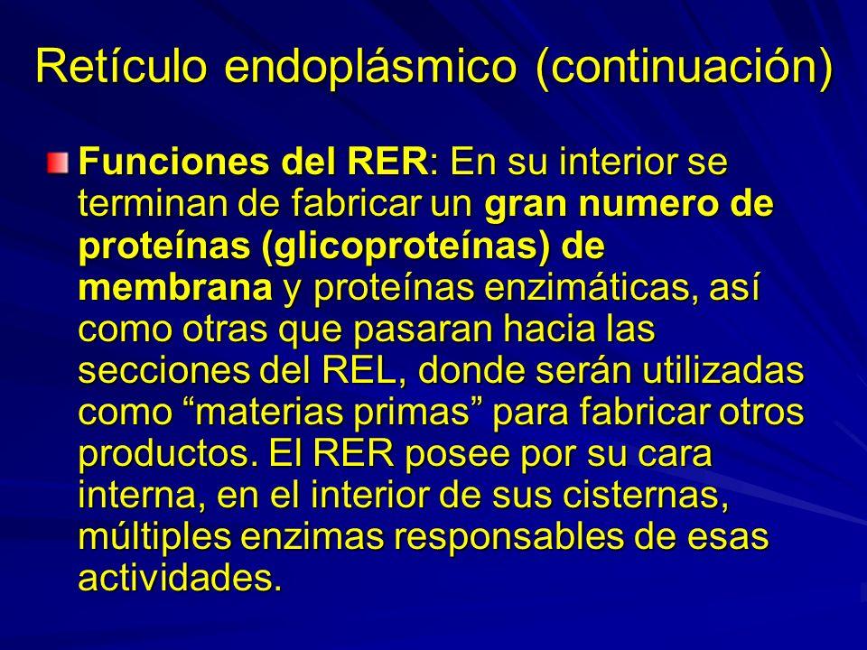 Retículo endoplásmico (continuación) Funciones del RER: En su interior se terminan de fabricar un gran numero de proteínas (glicoproteínas) de membran