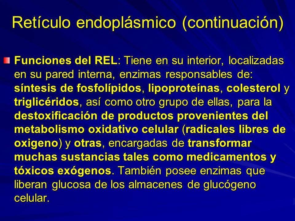 Retículo endoplásmico (continuación) Funciones del REL: Tiene en su interior, localizadas en su pared interna, enzimas responsables de: síntesis de fo