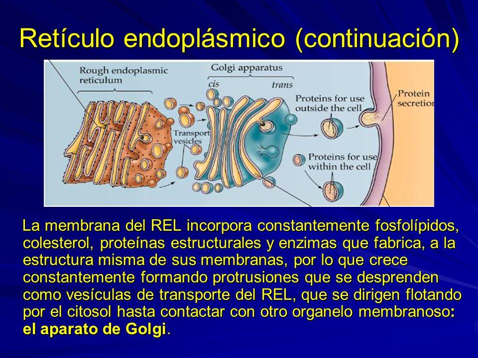 Retículo endoplásmico (continuación) La membrana del REL incorpora constantemente fosfolípidos, colesterol, proteínas estructurales y enzimas que fabr