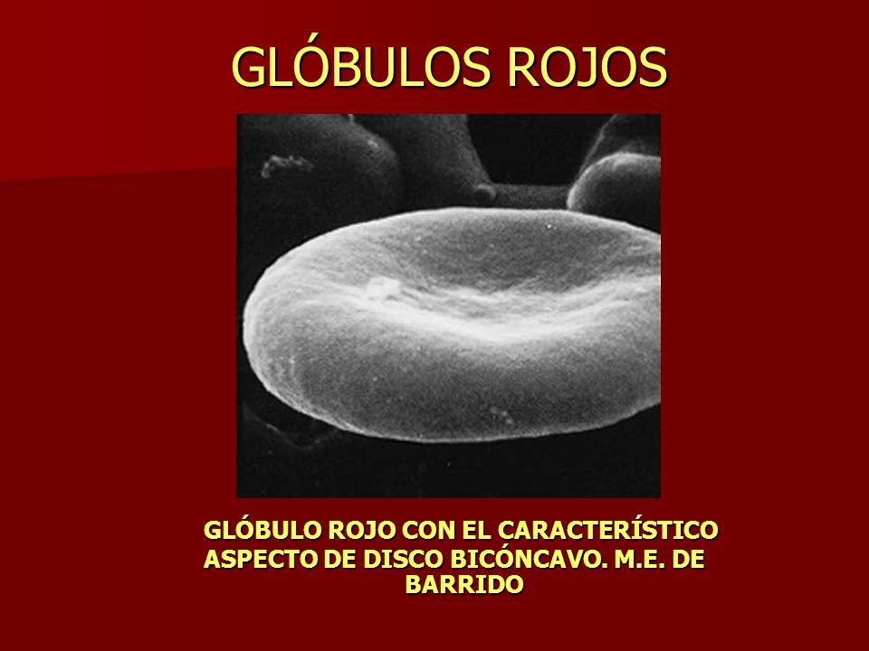 GLÓBULOS ROJOS GLÓBULO ROJO CON EL CARACTERÍSTICO ASPECTO DE DISCO BICÓNCAVO. M.E. DE BARRIDO BARRIDO
