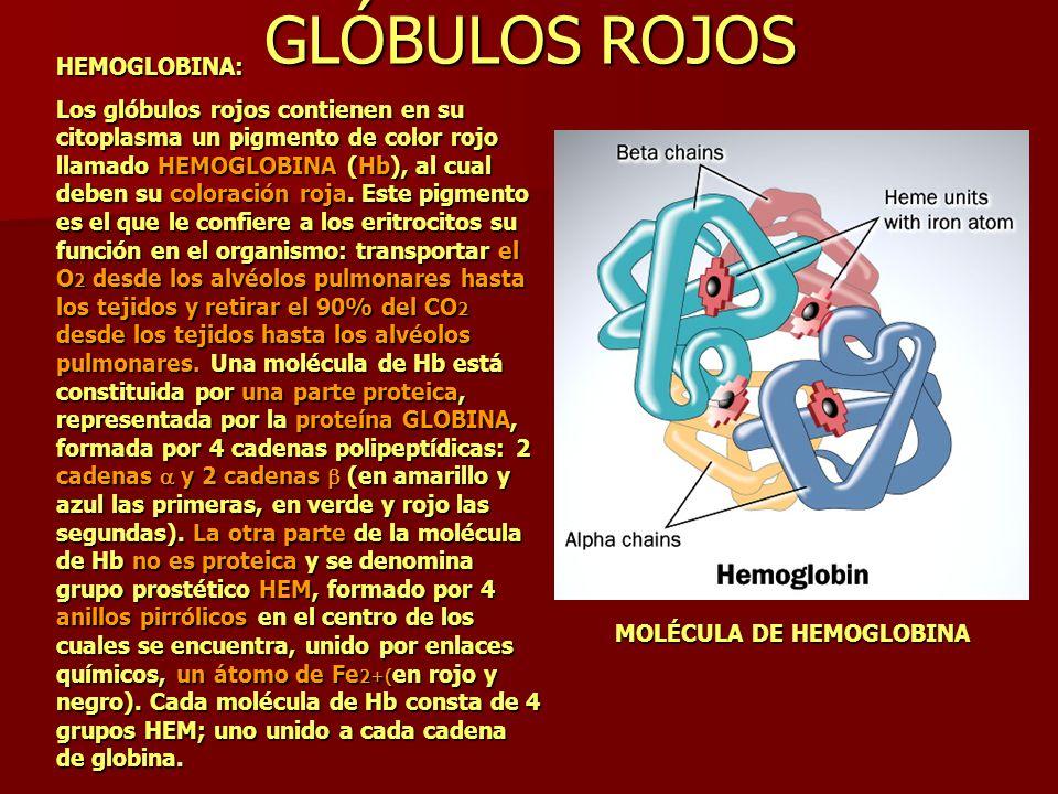 HEMOGLOBINA: Los glóbulos rojos contienen en su citoplasma un pigmento de color rojo llamado HEMOGLOBINA (Hb), al cual deben su coloración roja. Este