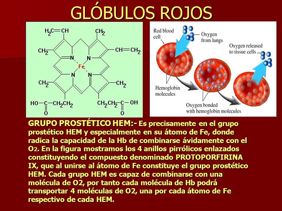GLÓBULOS ROJOS GRUPO PROSTÉTICO HEM:- Es precisamente en el grupo prostético HEM y especialmente en su átomo de Fe, donde radica la capacidad de la Hb