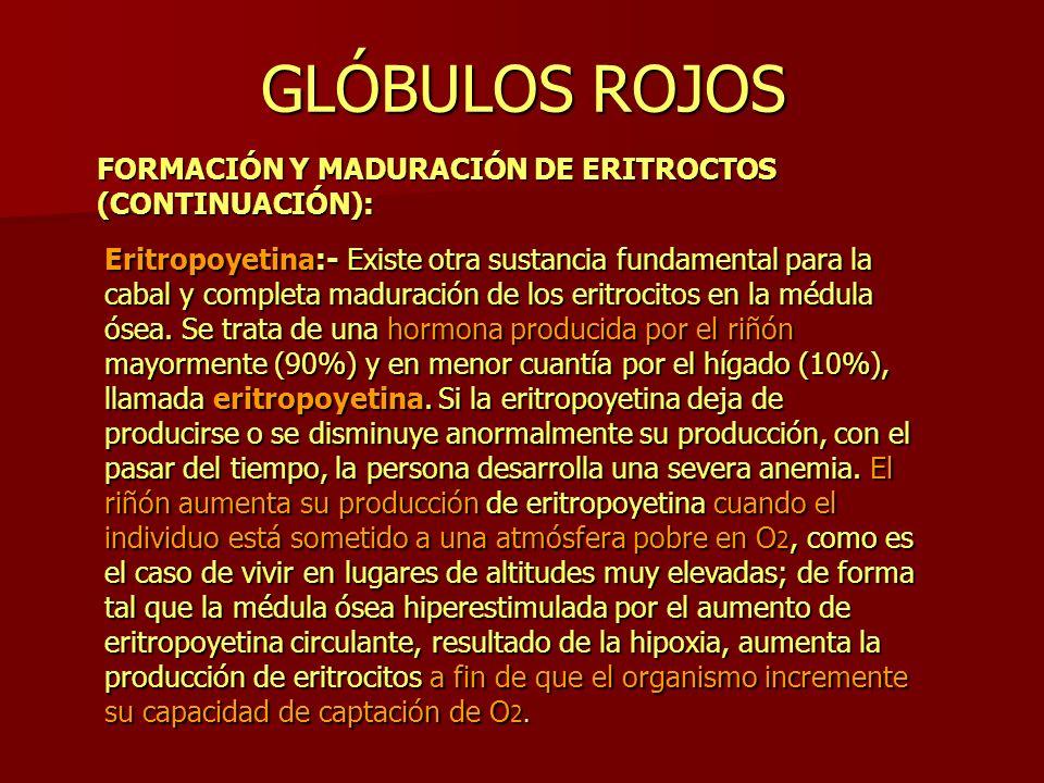GLÓBULOS ROJOS FORMACIÓN Y MADURACIÓN DE ERITROCTOS (CONTINUACIÓN): Eritropoyetina:- Existe otra sustancia fundamental para la cabal y completa madura