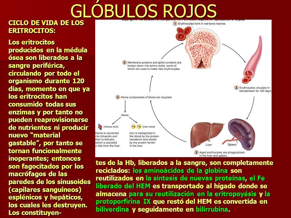 GLÓBULOS ROJOS CICLO DE VIDA DE LOS ERITROCITOS: Los eritrocitos producidos en la médula ósea son liberados a la sangre periférica, circulando por tod