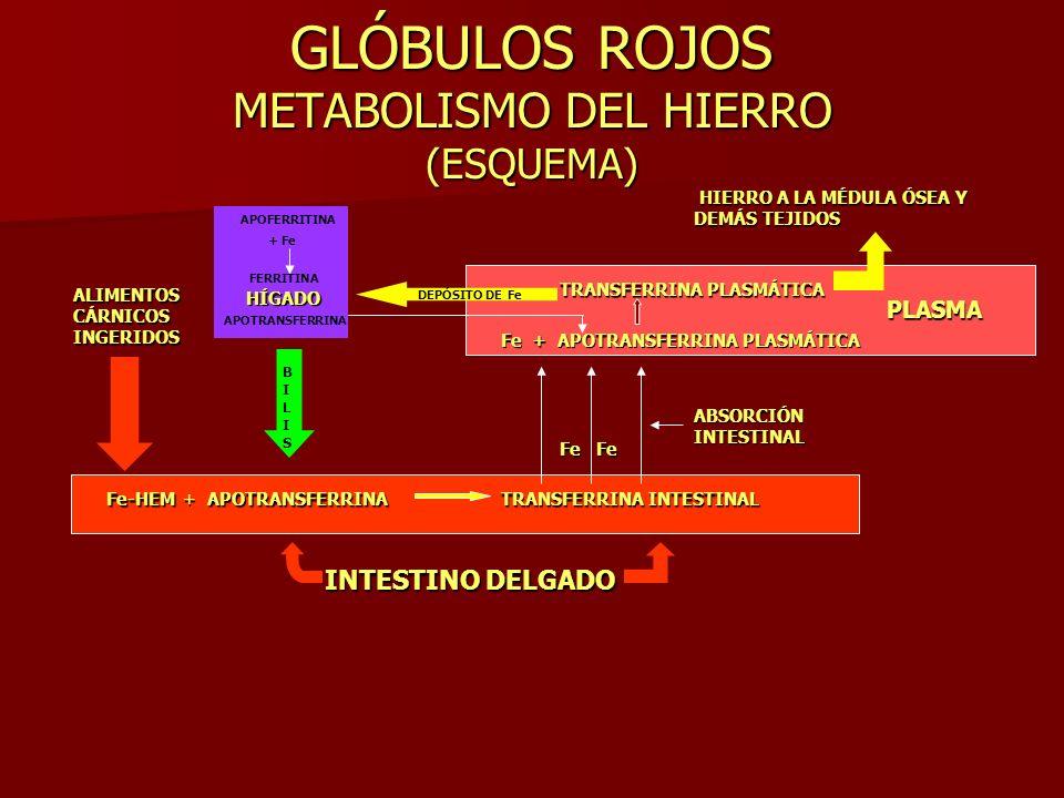 GLÓBULOS ROJOS METABOLISMO DEL HIERRO (ESQUEMA) ALIMENTOS CÁRNICOS INGERIDOS Fe-HEMAPOTRANSFERRINA+ TRANSFERRINA INTESTINAL INTESTINO DELGADO BILISBIL