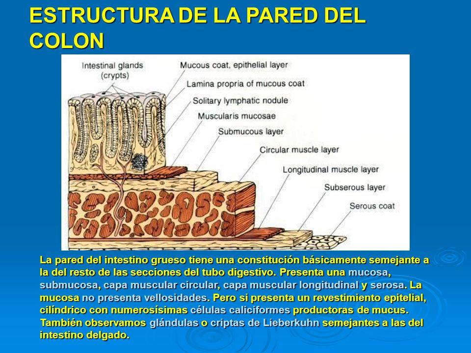 ESTRUCTURA DE LA PARED DEL COLON La pared del intestino grueso tiene una constitución básicamente semejante a la del resto de las secciones del tubo d