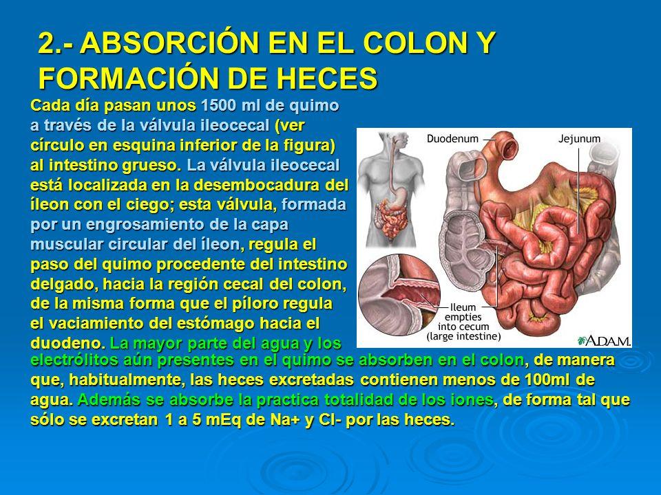 ABSORCIÓN DE AGUA Y ELECTRÓLITOS (Na+ y Cl-) ÁNGULO HEPÁTICO ÁNGULO ESPLÉNICO Casi toda la absorción en el intestino grueso tiene lugar en la mitad proximal del colon (colon ascendente y parte del transverso), mientras que el colon distal (parte más distal del transverso, descendente, sigmoides y recto) actúan como depósito transitorio de heces.