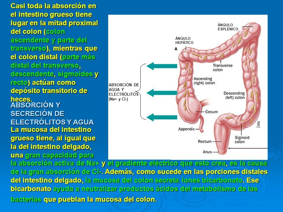 CAPACIDAD MÁXIMA DE ABSORCIÓN DEL INTESTINO GRUESO El intestino grueso puede absorber un máximo de 5 a 8 litros de agua y electrólitos en 24 horas.