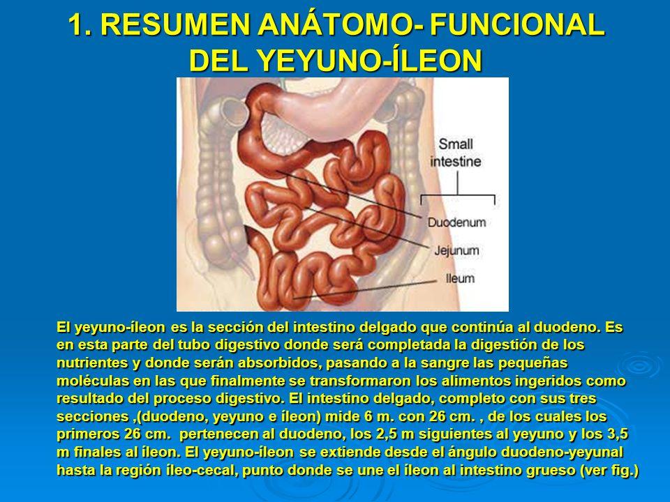 ESTRUCTURA DE LA PARED DEL YEYUNO-ÍLEON PARED INTESTINAL VELLOSIDAD ENTEROCITOS CAPAS MUSCULARES Pliegues o válvulas de Kerckring vellosidades Absorción de nutrientes Células epiteliales (enterocitos) Capilar Linfático Capilares sanguíneos INTERIOR DEL INTESTINO Absorción de nutrientes Microvellosidades Vasos sanguíneos con nutrientes absorbidos hacia el hígado La estructura del yeyuno-íleon es semejante a la descrita en el duodeno, con la excepción de que no posee glándulas submucosas de Brunner como este último.