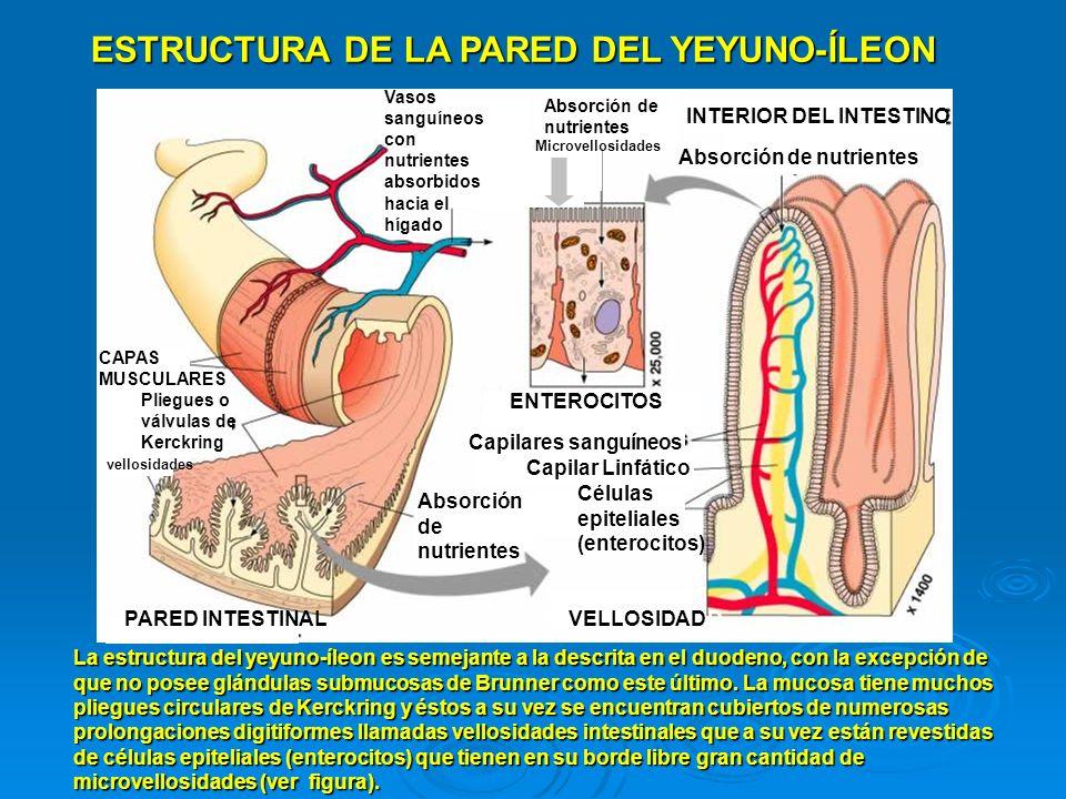 DESTINO DE LOS NUTRIENTES ABSORBIDOS Los nutrientes hidrosolubles tales como monosacáridos, aminoácidos, dipéptidos, tripéptidos, vitaminas hidrosolubles e iones minerales como Na+, K+, Ca2+, Fe, etc., son absorbidos por los enterocitos y éstos los pasan hacia el interior de los capilares sanguíneos (ver figura) de la vellosidad intestinal y por la sangre, son retirados hacia la circulación portal (vena Porta) que les conducirá directamente hacia el hígado.