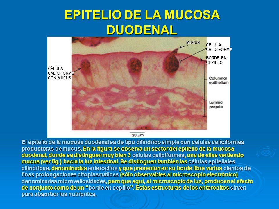 EPITELIO DE LA MUCOSA DUODENAL El epitelio de la mucosa duodenal es de tipo cilíndrico simple con células caliciformes productoras de mucus. En la fig