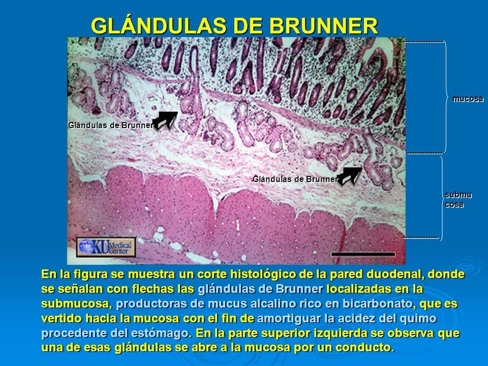GLÁNDULAS DE BRUNNER En la figura se muestra un corte histológico de la pared duodenal, donde se señalan con flechas las glándulas de Brunner localiza