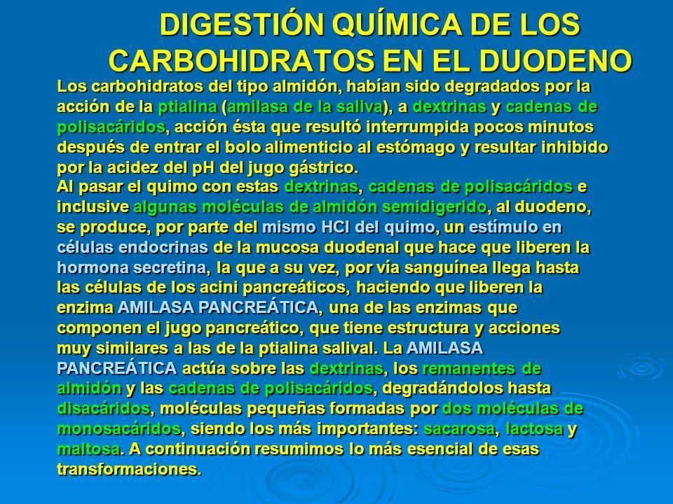 DIGESTIÓN QUÍMICA DE LOS CARBOHIDRATOS EN EL DUODENO Los carbohidratos del tipo almidón, habían sido degradados por la acción de la ptialina (amilasa