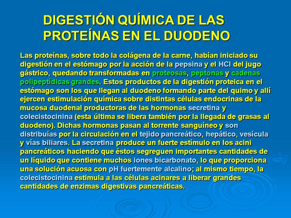 DIGESTIÓN QUÍMICA DE LAS PROTEÍNAS EN EL DUODENO Las proteínas, sobre todo la colágena de la carne, habían iniciado su digestión en el estómago por la