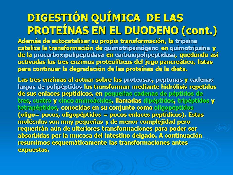 DIGESTIÓN QUÍMICA DE LAS PROTEÍNAS EN EL DUODENO (cont.) Además de autocatalizar su propia transformación, la tripsina cataliza la transformación de q