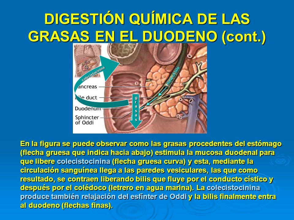 DIGESTIÓN QUÍMICA DE LAS GRASAS EN EL DUODENO (cont.) grasasgrasasgrasasgrasas colecistocinina En la figura se puede observar como las grasas proceden