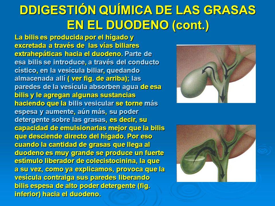 DDIGESTIÓN QUÍMICA DE LAS GRASAS EN EL DUODENO (cont.) La bilis es producida por el hígado y excretada a través de las vías biliares extrahepáticas ha