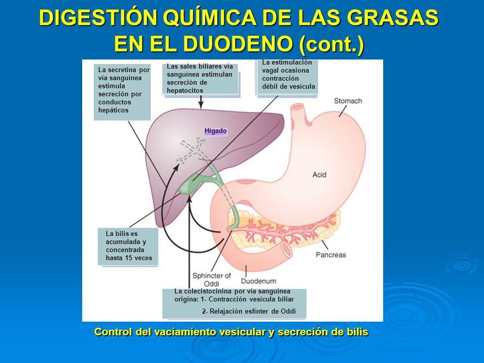 DIGESTIÓN QUÍMICA DE LAS GRASAS EN EL DUODENO (cont.) La colecistocinina por vía sanguínea origina: 1- Contracción vesícula biliar 2- Relajación esfín