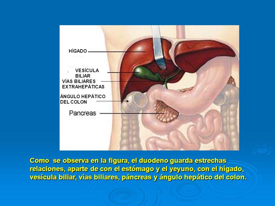 HÍGADO VESÍCULA BILIAR Comose observa en la figura, el duodeno guarda estrechas relaciones, aparte de con el estómago y el yeyuno, con el hígado, vesí