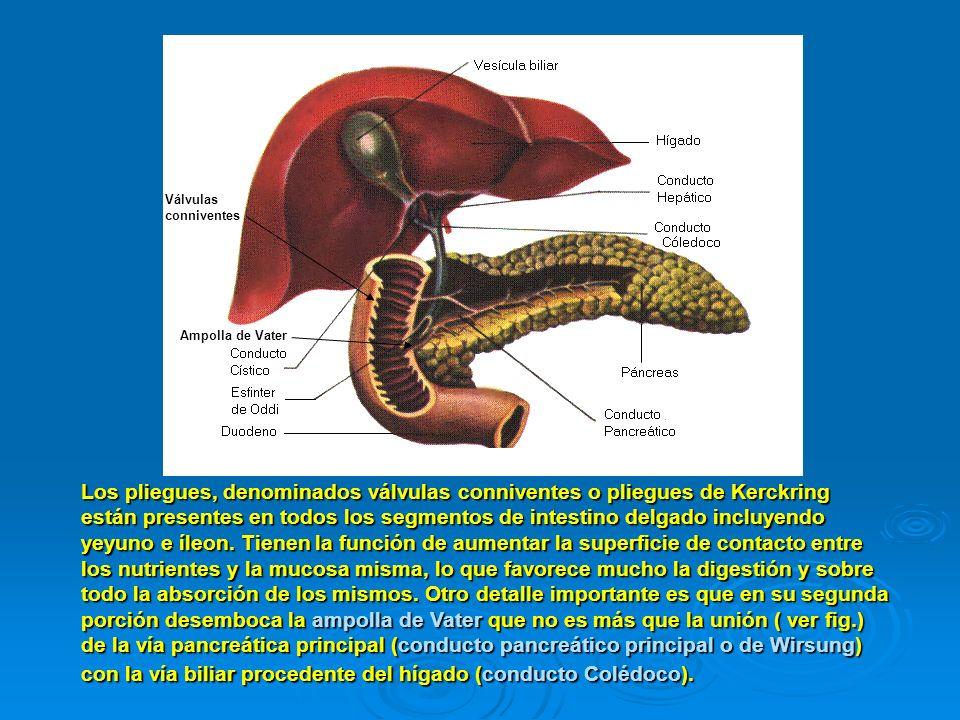 Los pliegues, denominados válvulas conniventes o pliegues de Kerckring están presentes en todos los segmentos de intestino delgado incluyendo yeyuno e