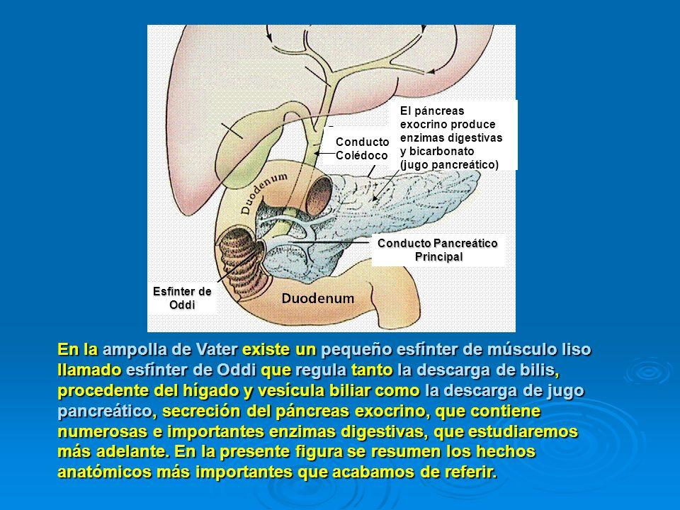En la ampolla de Vater existe un pequeño esfínter de músculo liso llamado esfínter de Oddi que regula tanto la descarga de bilis, procedente del hígad