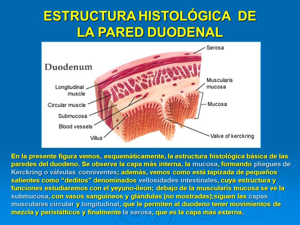 ESTRUCTURA HISTOLÓGICA DE LA PARED DUODENAL En la presente figura vemos, esquemáticamente, la estructura histológica básica de las paredes del duodeno