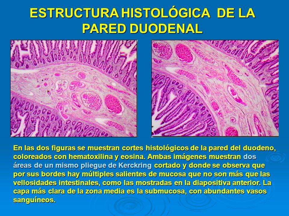 ESTRUCTURA HISTOLÓGICA DE LA PARED DUODENAL En las dos figuras se muestran cortes histológicos de la pared del duodeno, coloreados con hematoxilina y