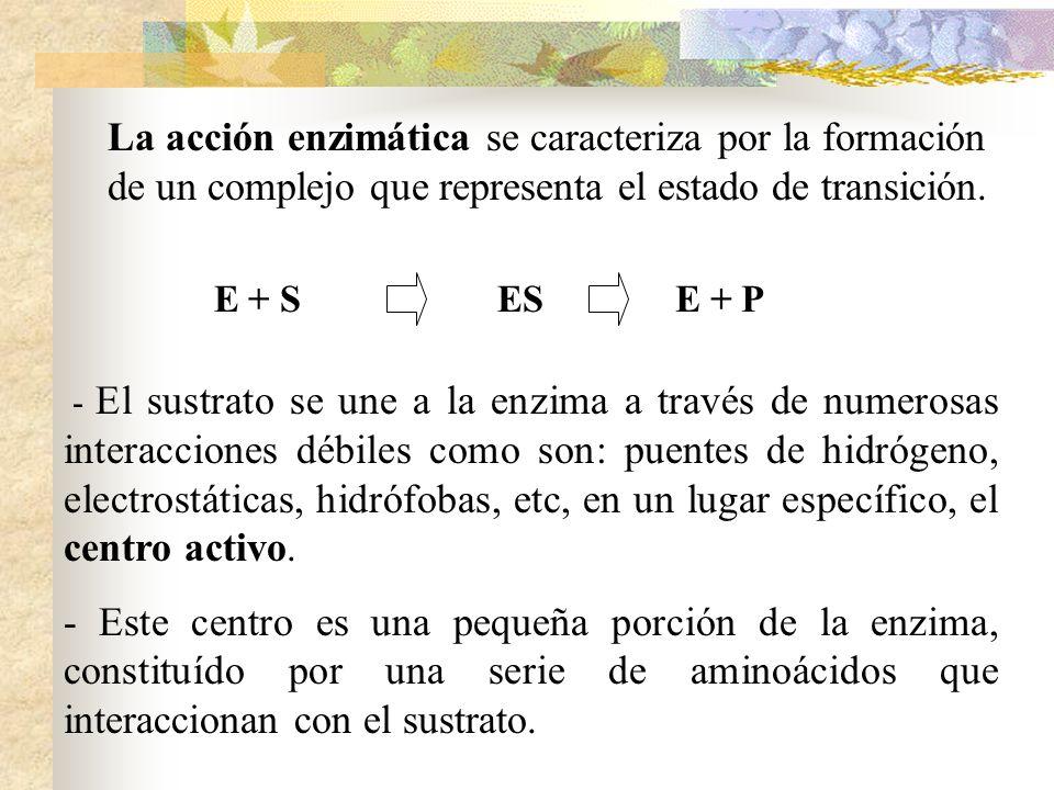 La acción enzimática se caracteriza por la formación de un complejo que representa el estado de transición. E + SESE + P - El sustrato se une a la enz