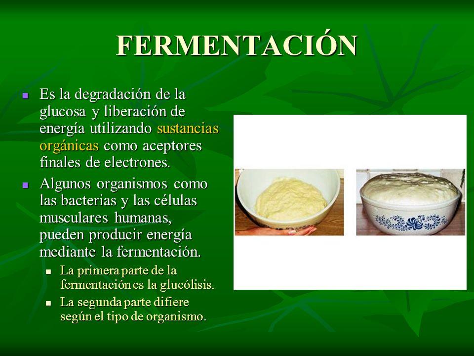 FERMENTACIÓN Es la degradación de la glucosa y liberación de energía utilizando sustancias orgánicas como aceptores finales de electrones. Es la degra
