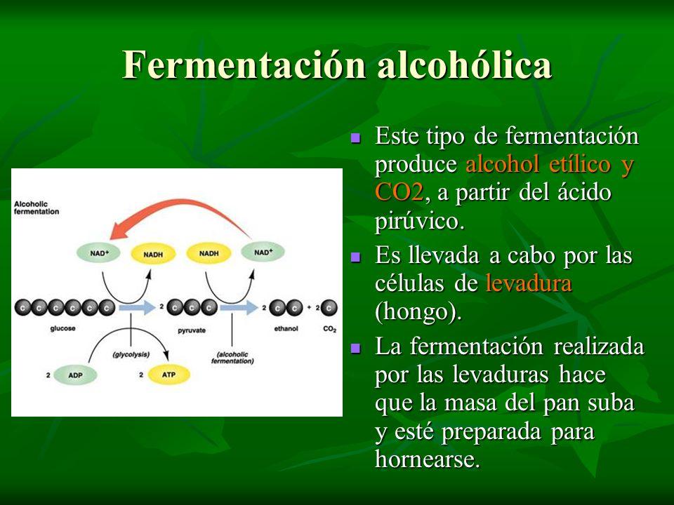 Fermentación alcohólica Este tipo de fermentación produce alcohol etílico y CO2, a partir del ácido pirúvico. Este tipo de fermentación produce alcoho