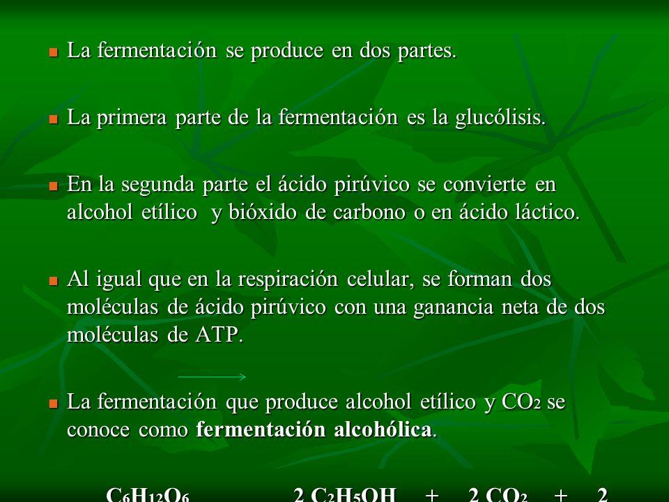 La fermentación se produce en dos partes. La fermentación se produce en dos partes. La primera parte de la fermentación es la glucólisis. La primera p