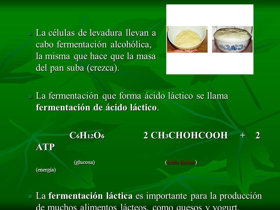La células de levadura llevan a cabo fermentación alcohólica, la misma que hace que la masa del pan suba (crezca). La células de levadura llevan a cab