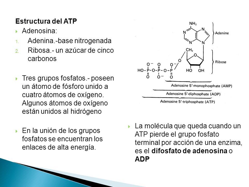 Estructura del ATP Adenosina: 1. Adenina.-base nitrogenada 2. Ribosa.- un azúcar de cinco carbonos Tres grupos fosfatos.- poseen un átomo de fósforo u