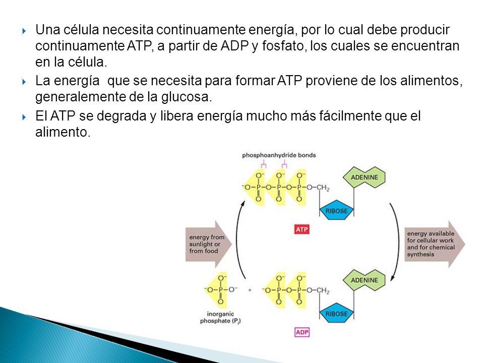 Una célula necesita continuamente energía, por lo cual debe producir continuamente ATP, a partir de ADP y fosfato, los cuales se encuentran en la célu